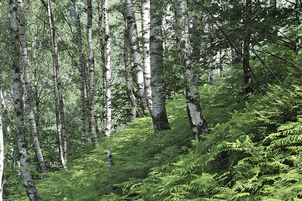 Birkenwald zwischen Linescio und Morella, Valle Rovana © Alison Pouliot