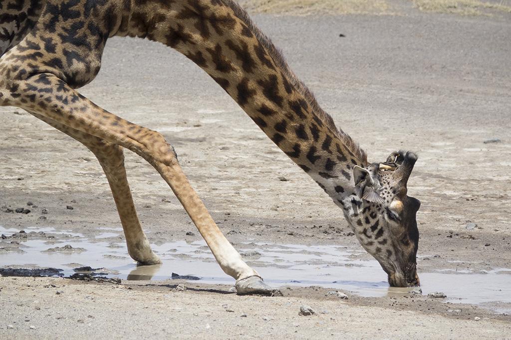 Naturreise Tansania, Giraffe, Lake Ndutu © Valerie Chetelat