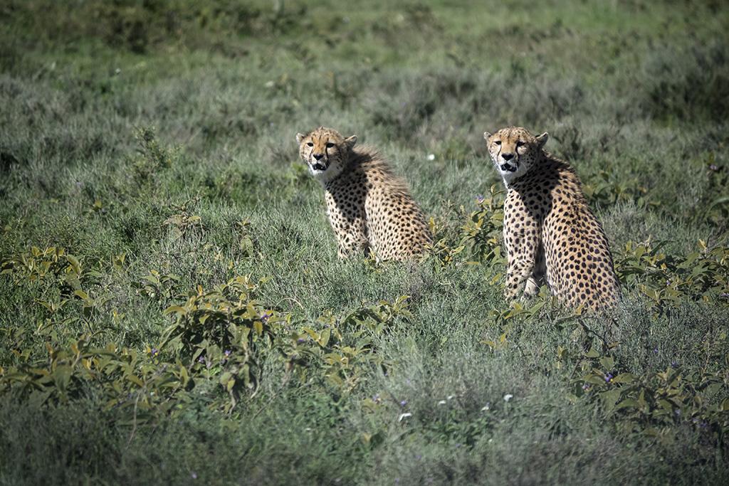 Geprard, Naturreise Tansania, Aktivferien, 6.-22. Februar 2016   © Valerie Chetelat